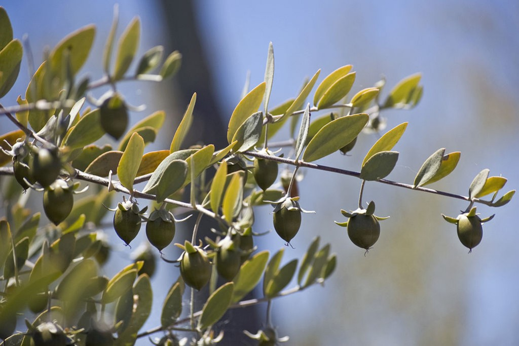 Jojoba, an essential ingredient in organic cosmetics